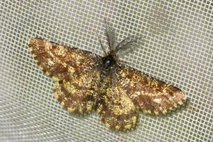 Common Heath moth (Ematurga atomaria)