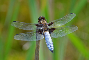 Broad-bodied chaser dragonfly (Libellula depressa)