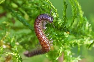 Turdulisoma cf. turdulorum millipede
