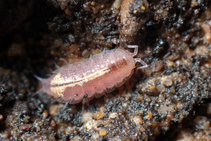 Rosy Woodlouse (Androniscus dentiger)