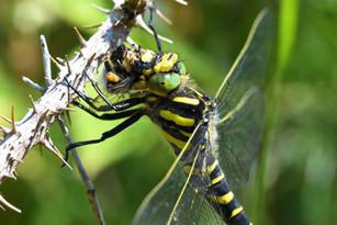 Golden-ringed dragonfly (Cordulegaster boltonii)