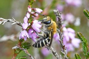 Heather colletes bee (Colletes succinctus)