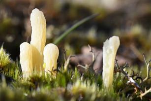 Moor Club fungus (Clavaria argillacea)