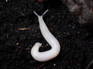 Ghost Slug (Selenochlamys ysbryda)