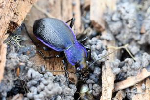 Carabus problematicus (ground beetle)