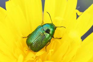 Cryptocephalus aureolus (pot beetle)