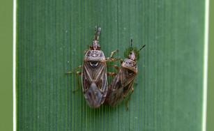 Bulrush Bug (Chilacis typhae)