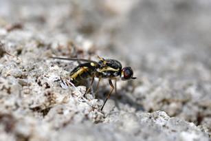 Pygmy Soldierfly (Oxycera pgymaea)