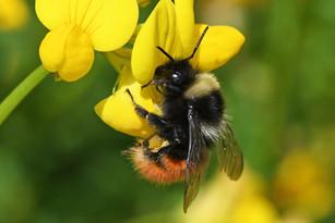 Bilberry Bumblebee (Bombus monticola)
