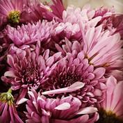 Chrysanthemum flowers