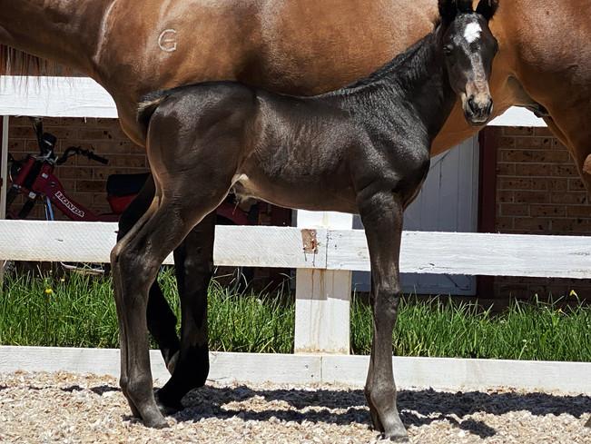 Young colt foal Catalina Comet