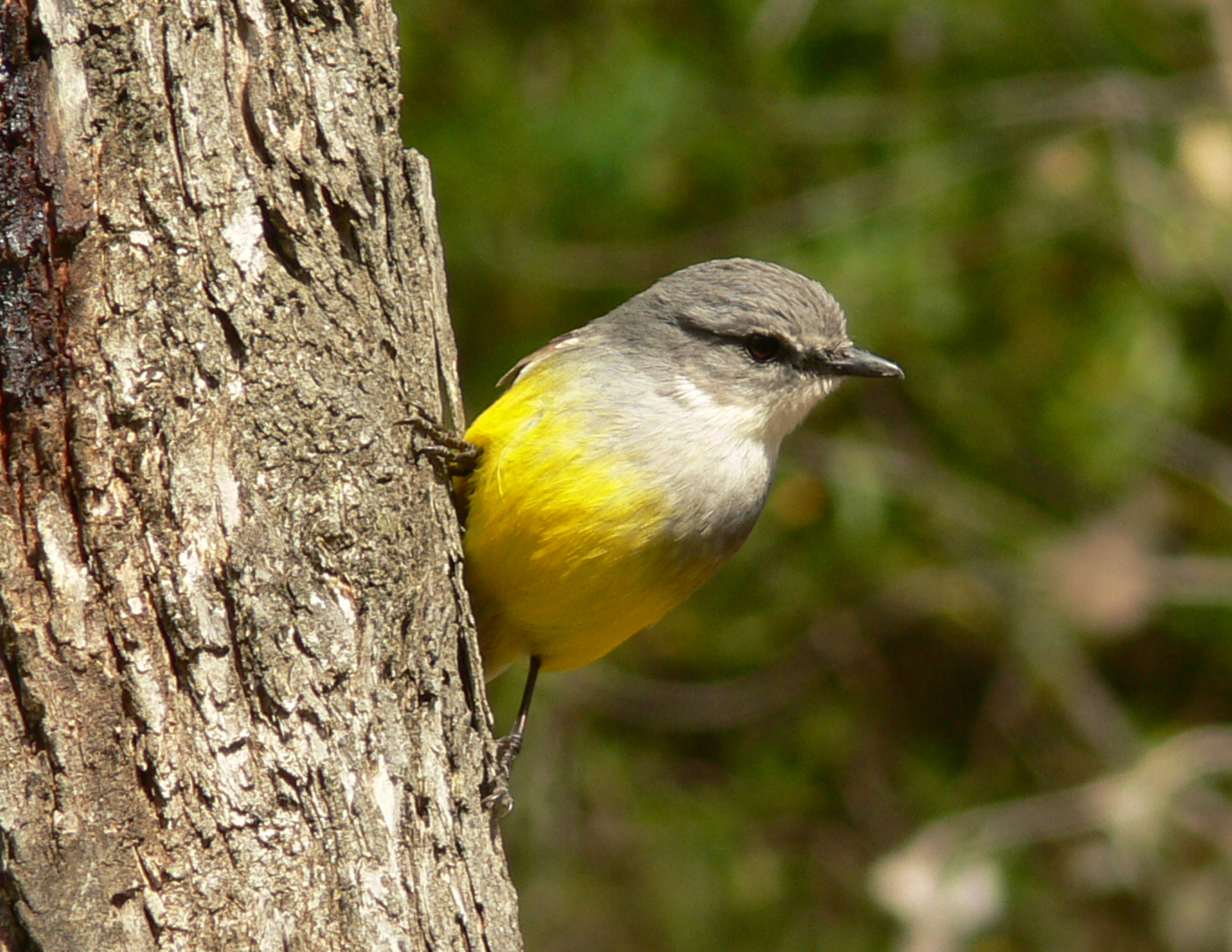 Western Yellow Robin