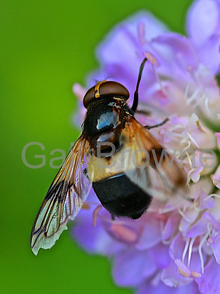 Hover Bee on Scabious