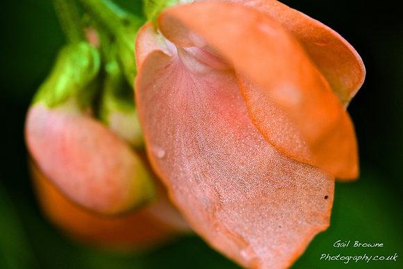 Runner Bean Flower