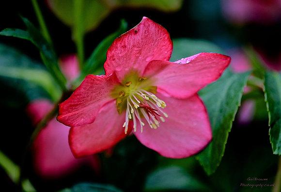 Hellebore Pink