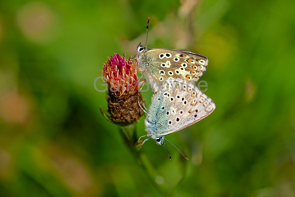 Chalk Blue Butterflies