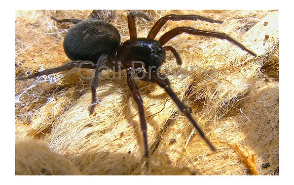 Black house spider