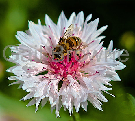 Bee on Pink & White Cornflower