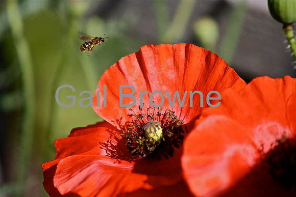 Bee Flying over Red Poppy