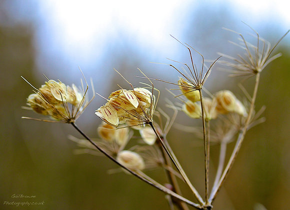 Cow Parsley Seeds in Winter