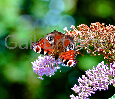 Peacock Butterly