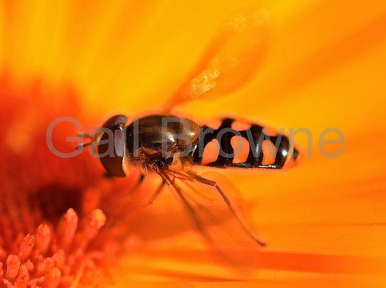 Hover Fly on Calendula