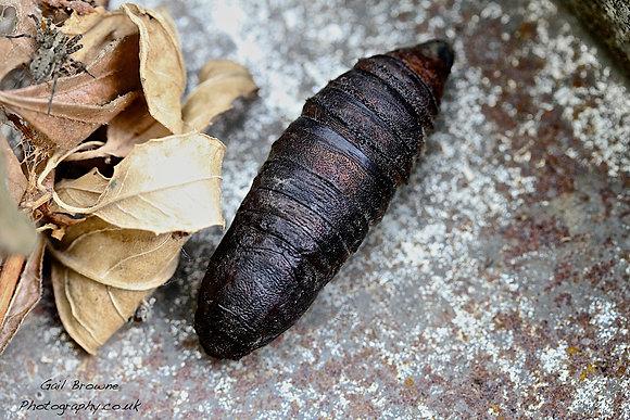 Elephant Hawk Moth Cocoon