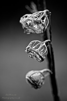Seed pods in Winter