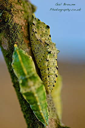 Large White Butterfly Chrysalis