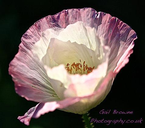 Crepe Pink & White Poppy
