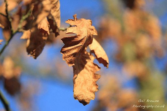 Oak leaf in Winter