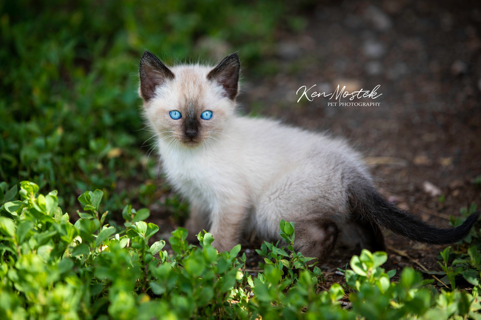 Ranch Cat Blue Eyes with watermark for s