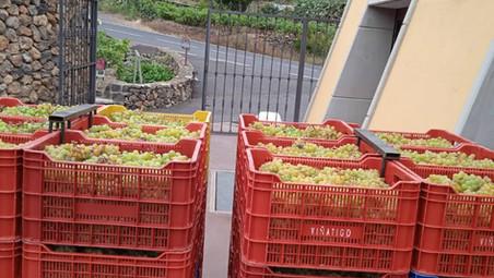 Arranca la vendimia Canary Wine en Bodegas Viñátigo