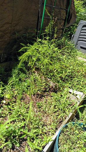 weeds.JPG.jpg