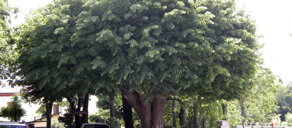 5 alberi per avere ombra in giardino