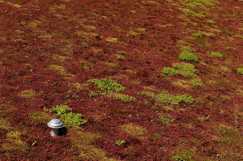 Red Vegetation on roof.jpg