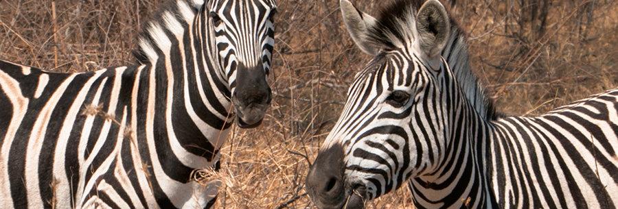 Nieuwsgierige Zebra paarden