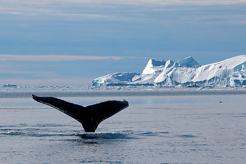 Humpback whales in Greenland