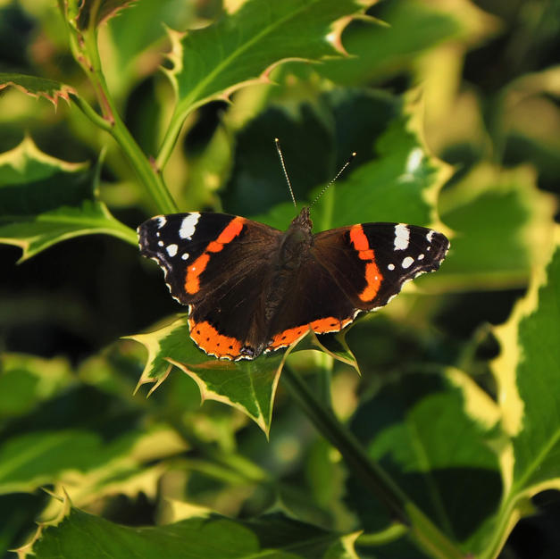 Peter Grey - Red Admiral Butterfly.JPG