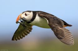 Puffin-in-Flight