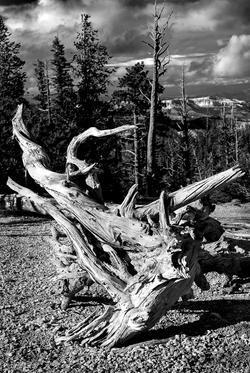 Fallen-Tree-Bryce-Canyon