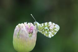Butterfly on Allium