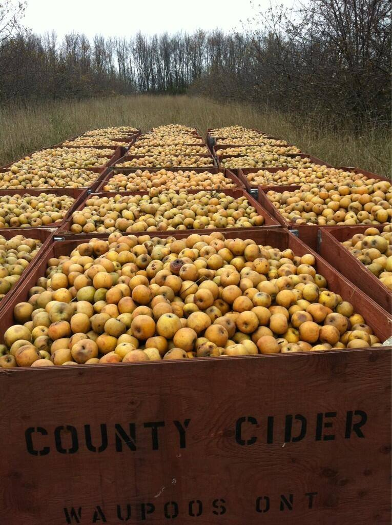 Cider Apples in Crates