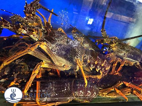 Live Australian Lobsters (澳洲龙虾) $/piece