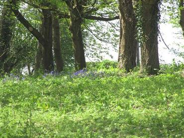 Bluebell Wood 2.jpg
