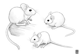 mouse-mice-sketch-study-drawing