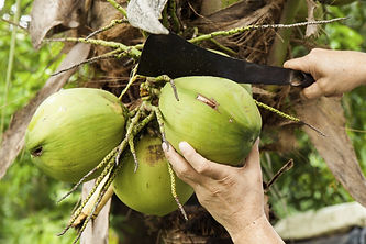 coconut-harvest.jpg