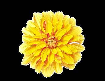 flower-yellow-chrysanthemum-xd7grandiflo