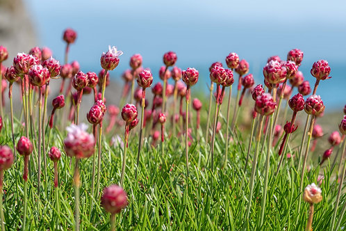 Sea Thrift about to BURST into Flower