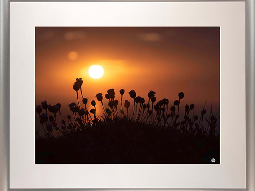 Silver Metallic Framed Picture - 400 x 500mm - Budding Sea Thrift in Evening Sun